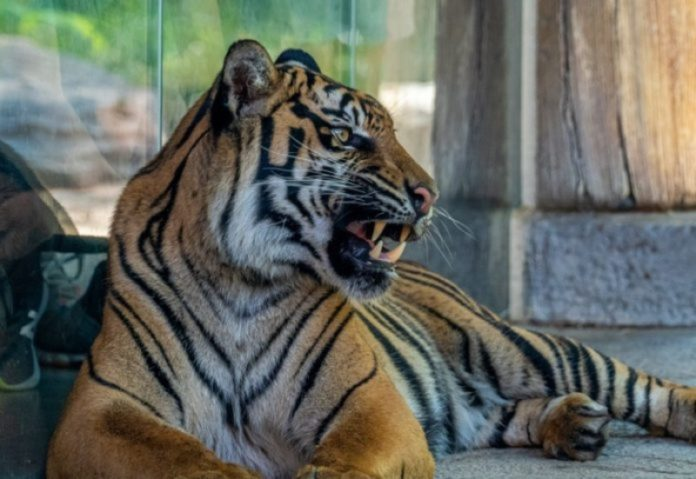 Nashville Zoo Takes Top Honors for Tiger Crossroads Exhibit